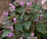 Red dead nettle 50 seeds - FREE POST